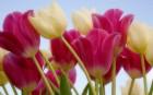 Mãn nhãn với bộ ảnh ấn tượng hoa tulip